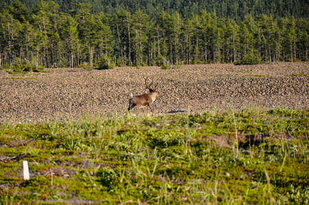 A wild reindeer walks along the green grass. In the background taiga and hills. Stock Photo