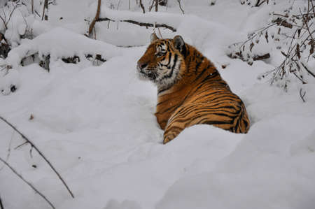 The Amur tiger lies in the snow, in winter forest, in natural conditions Banque d'images