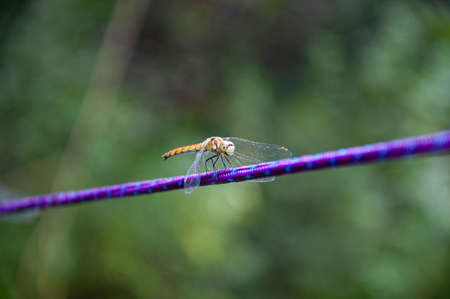 Dragonfly sits on a horizontal rope. Close up