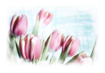 grainy:  tulips with a white grainy border