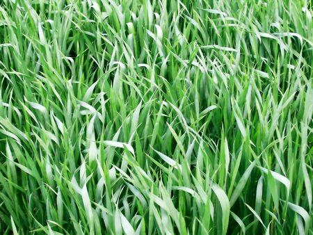 swaying: green crops