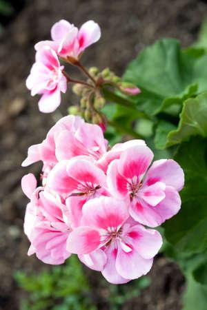 pink garden geranium flowers in their spring blossom photo