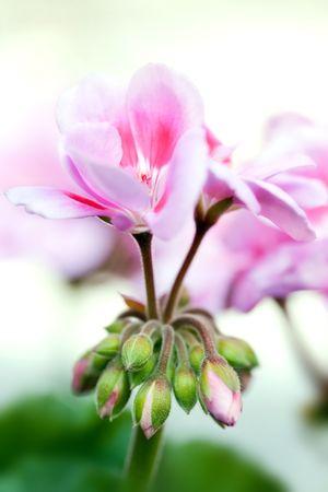 ピンクの庭のゼラニウムの発芽および開花