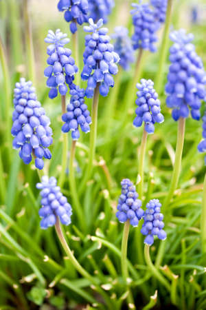 A field of Blue Grape Hyacinths in spring blossom photo