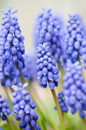 Blue lovely Grape Hyacinths in spring blossom photo
