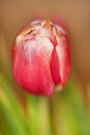 solitaire: beautiful pink tulip in solitaire Stock Photo