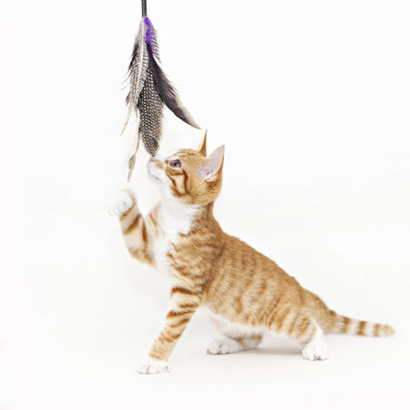 Ginger cat playing with feathers photo