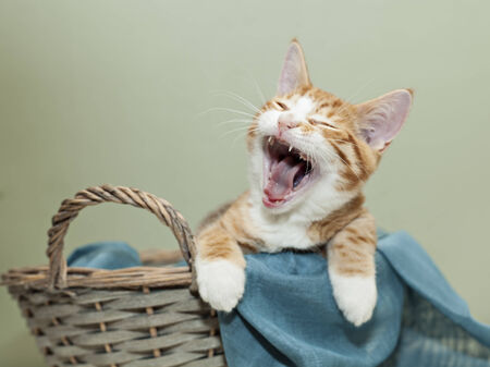 Image of ginger kitten with a big yawn.  photo