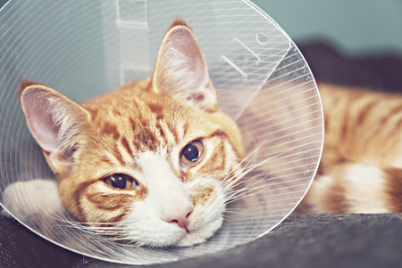 Image of orange cat with veterinairy cone on its head, after surgery.