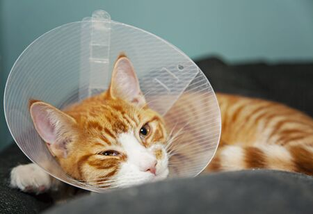 Ginger cat with veterinairy cone after surgery. Banco de Imagens