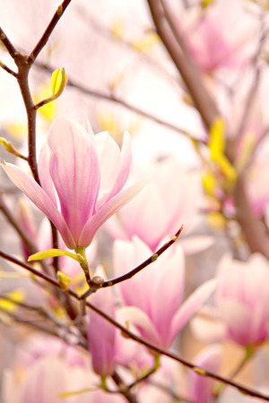 Image of ping magnolia blossoms. photo