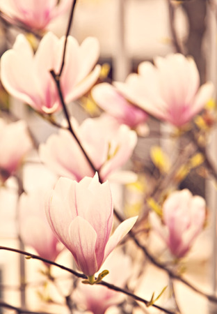 Image of  blossoming magnolia. Shallow depth of field. photo