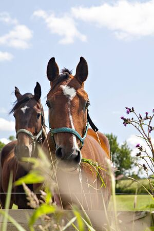 munching: Image of two horses munching grass in their pen. Stock Photo
