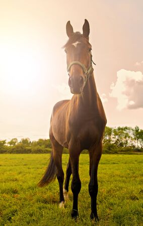 chestnut male: Image of a young stallion posing in a field. Stock Photo