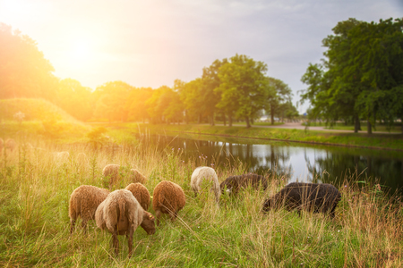 Image of a herd of sheep grazing in the morning. Banco de Imagens - 44389897