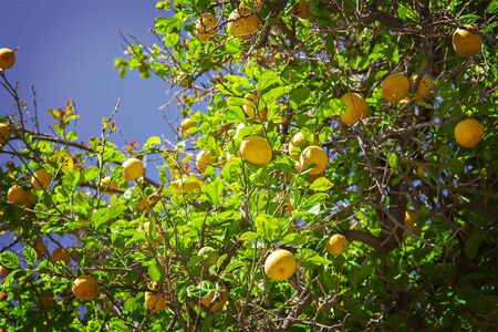 lemon: Image of a lemon tree with plenty of ripe fruit. Stock Photo