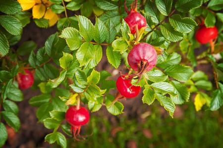 Image of ripe rose hip bush.