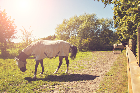 Image of two horses in a pen, wearing fly masks and quilts. Stock Photo