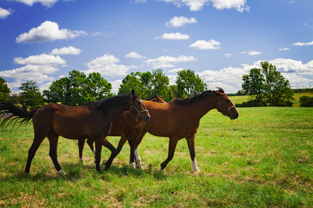 stallions: Image of three young stallions walking in the field.