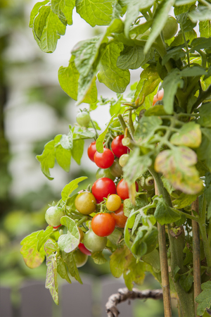 homegrown: Image of homegrown organic tomatoes. Stock Photo