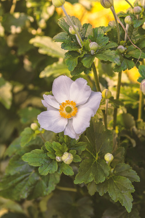 Image of a single Anemone flower.