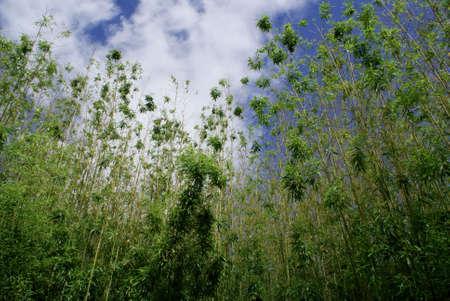 Bamboo Trees Stock Photo - 6274057