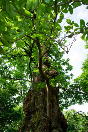A grand chestnut tree  Stock Photo