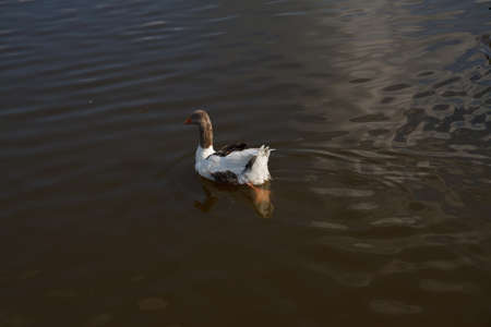 Duck with orange beak