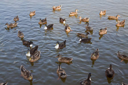 Ducks with orange beak  Stock Photo