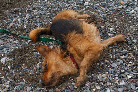 An image of dog. Yorkshire Terrier