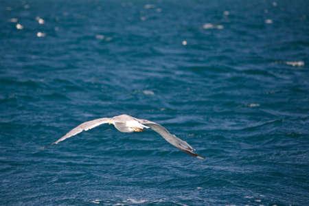 Seagull flight on the italian coast