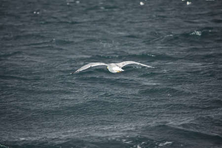 Seagull flight on the italian coast Stock Photo - 7824168