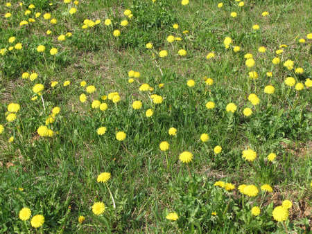 taraxacum: natural background taraxacum