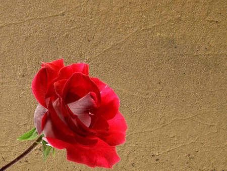 roze: red roze and river sand Stock Photo