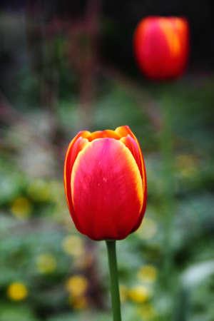 vernal: Spring primroses