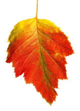 autumn leaf Hawthorn Stock Photo - 10919637