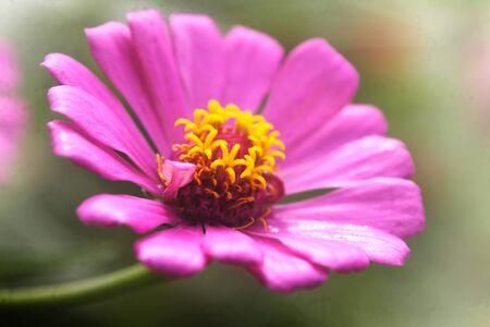 Pink common zinnia Stock Photo