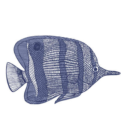 copperband butterflyfish: hand-drawn graphic illustration of chelmon rostratus