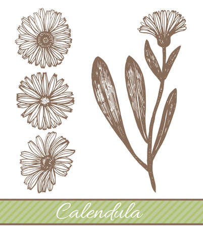 calendula: isolated calendula illustration