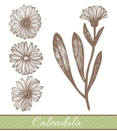 isolated calendula illustration