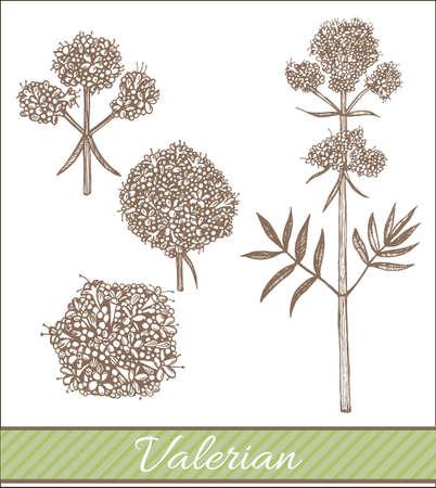 vector hand drawn isolated valerian illustration Illustration