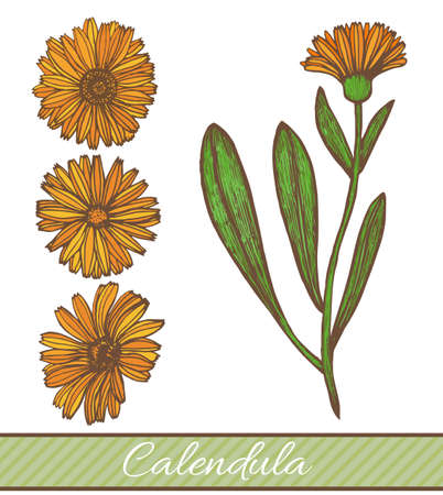 vector hand drawn colored calendula illustration