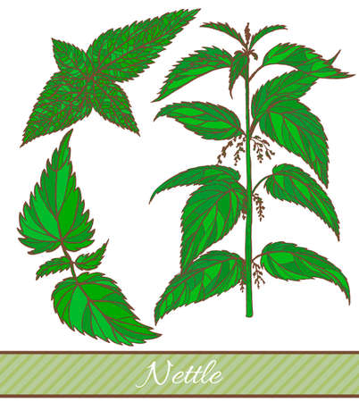 A vector hand drawn colored illustration of nettle