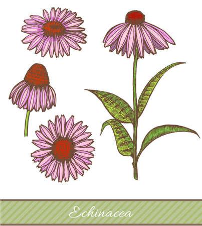 Colored echinacea hand drawn illustration.