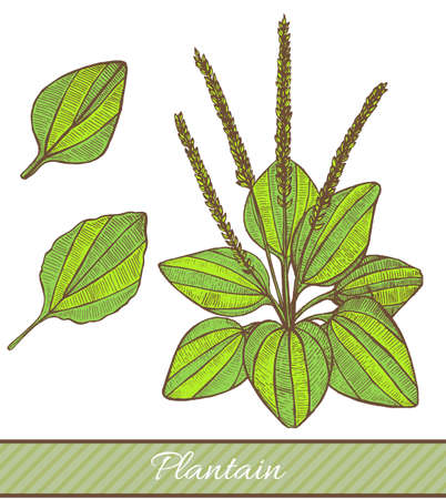 Colored plantain in hand drawn style. Vector illustration of medicinal plant. Ilustração