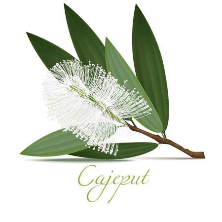 Fiore e foglie di Cajeput. Elementi realistici per etichette di prodotti cosmetici per la cura della pelle. Illustrazione vettoriale isolato
