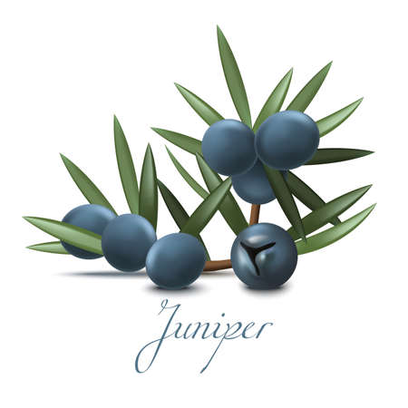 Juniper Branch with Berries. Realistic Elements for Labels of Cosmetic Skin Care Product Design. Vector Isolated Illustration Illustration