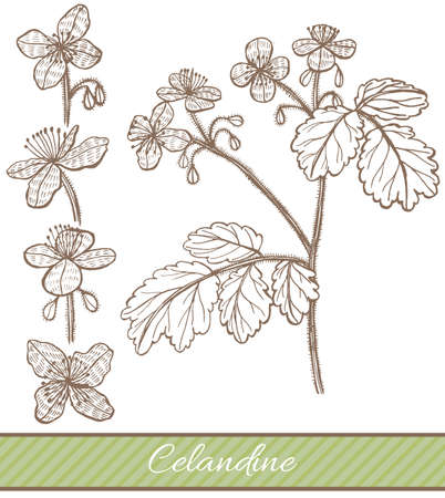 Celandine in Hand Drawn Style. Vector Illustration of Medicinal Plant