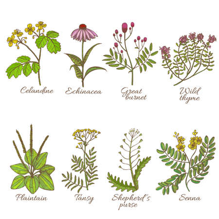 Colored set of medicinal plants. Collection in hand drawn style vector illustration of celandine echinacea great burnet wild thyme plaintain tansy shepherds purse senna.