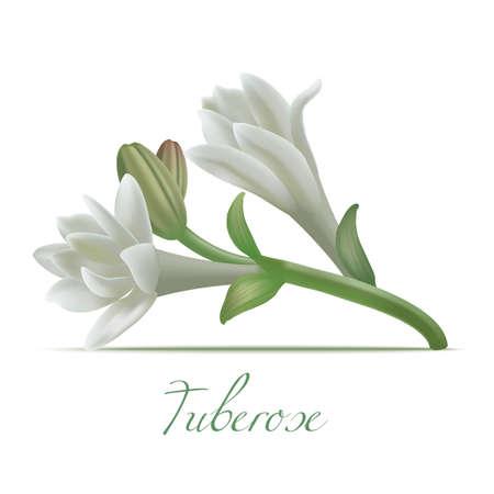 Tuberose Flowers in Realistic Style 写真素材 - 104591347